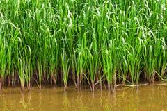 在河河岸的绿色灌木  免版税库存图片