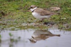在河沿的少许圈状的珩科鸟 免版税库存照片