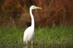 在河沿的极大的白鹭 库存照片