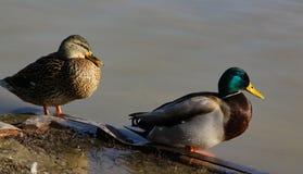 在河沿的野鸭 免版税库存图片