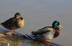 在河沿的野鸭 免版税库存照片