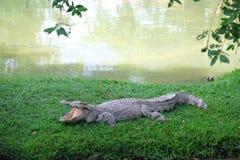 在河沿的鳄鱼 图库摄影