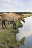 在河沿的Przewalski的马 免版税库存图片