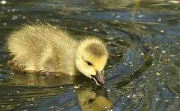 在河狩猎的甜加拿大鹅幼鹅黑雁canadensis游泳食物的 库存图片
