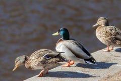 在河的三只鸭子 免版税库存图片