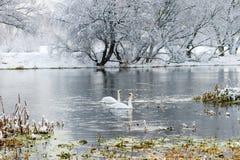 在河的两只白色天鹅在降雪以后在一个多云冬日 33c 1月横向俄国温度ural冬天 图库摄影