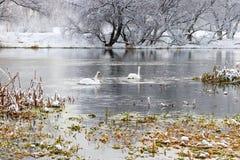 在河的两只白色天鹅在降雪以后在一个多云冬日 33c 1月横向俄国温度ural冬天 免版税库存图片