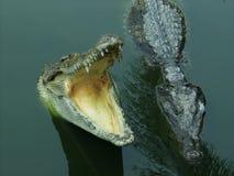 在河的两条鳄鱼 库存照片