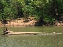 在河的乌龟 库存图片