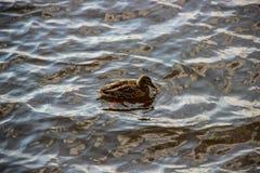 在河的偏僻的鸭子游泳 库存照片