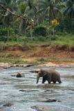 在河的印度象 免版税库存图片