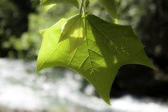 在河的叶子 图库摄影