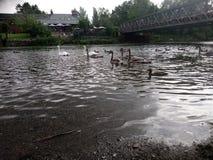 在河的天鹅 免版税图库摄影