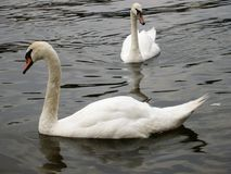 在河的天鹅 免版税库存照片