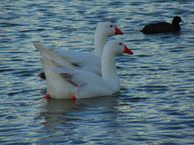 在河的天鹅 免版税库存图片