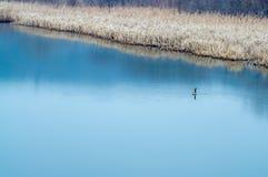 在河的孤独的鹅 免版税库存图片