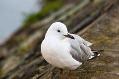 在河的岸的银色鸥鸟 库存照片