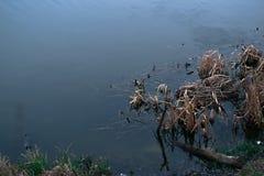 在河的干燥芦苇春天自然的 免版税库存照片