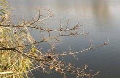 在河的树枝,不生叶的分支 免版税库存照片