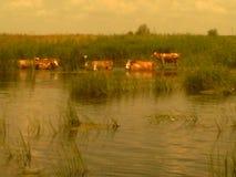 在河的母牛在一个饮水池 免版税库存照片