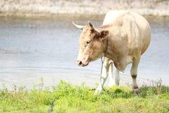 在河的母牛 免版税库存照片