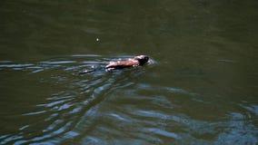 在河的水獭浮游物水的表面上 股票录像