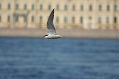 在河的水的上一只暂短燕鸥 免版税库存照片