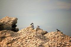 在河的河岸的三只小鸟 库存照片