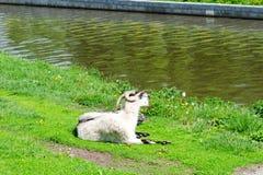 在河的河岸的山羊 免版税图库摄影