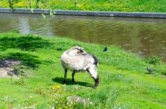 在河的河岸的山羊 库存照片