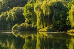 在河的河岸的柳树 免版税库存图片
