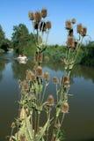 在河的河岸的起毛机花 图库摄影