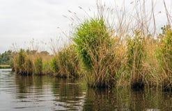 在河的河岸的里德床 免版税库存图片