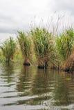 在河的河岸的里德床 库存图片