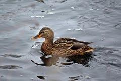 在河的游泳的鸭子 免版税库存图片