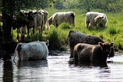 在河的牛 库存图片