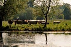 在河的牛 免版税库存照片