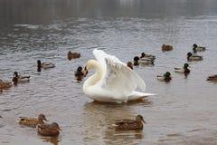 在河的白色天鹅 库存图片
