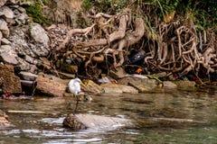 在河的白色苍鹭 库存照片