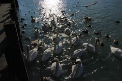 在河的秀丽天鹅全部白色与一个棕色 库存照片