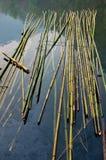 在河的竹子 免版税库存照片