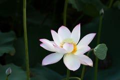 在河的莲花 库存图片