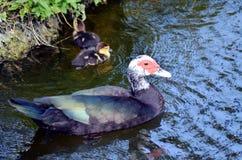 在河的野鸭在迈阿密,佛罗里达 免版税图库摄影