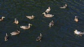 在河的野鸭 股票录像