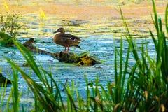 在河的野鸭 免版税库存图片