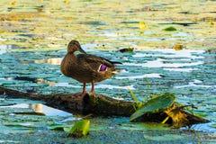 在河的野鸭 库存图片