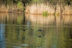 在河的野鸭 库存照片