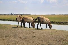 在河的马 免版税库存照片