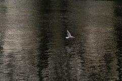 在河的鸥 免版税图库摄影
