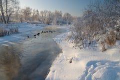 在河的鸭子在冬天 免版税库存照片
